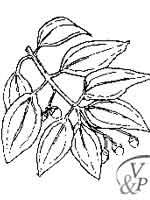 Comment se soigner avec une médecine naturelle et la plante Cannelier.