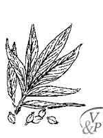 Comment se soigner avec une médecine naturelle et la plante Cardamome.