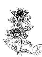 Comment se soigner avec une médecine naturelle et la plante Carthame (Huile de).