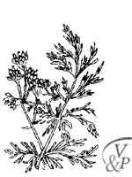 Comment se soigner avec une médecine naturelle et la plante Carvi.