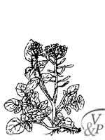 Comment se soigner avec une médecine naturelle et la plante Cresson officinal.